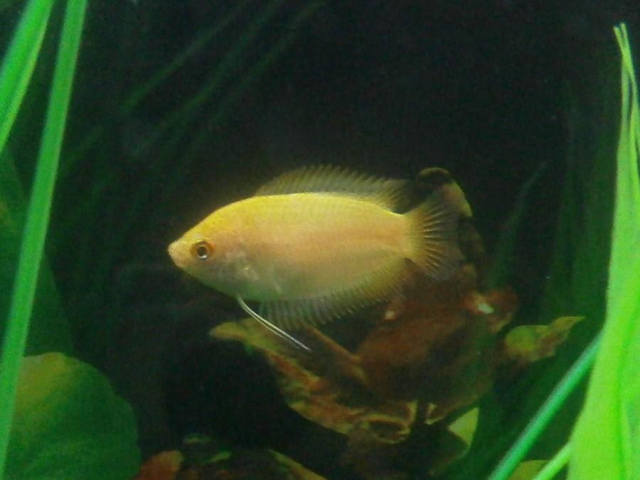 Male And Female Honey Gourami My Aquarium Club