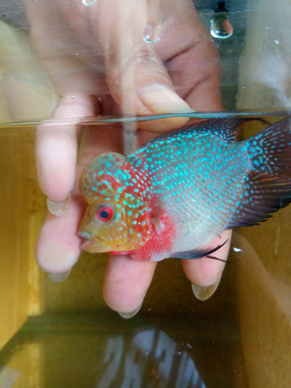 I Have A Male Flowerhorn,his Size Is 2 1/5inch ,is He Fertile Any