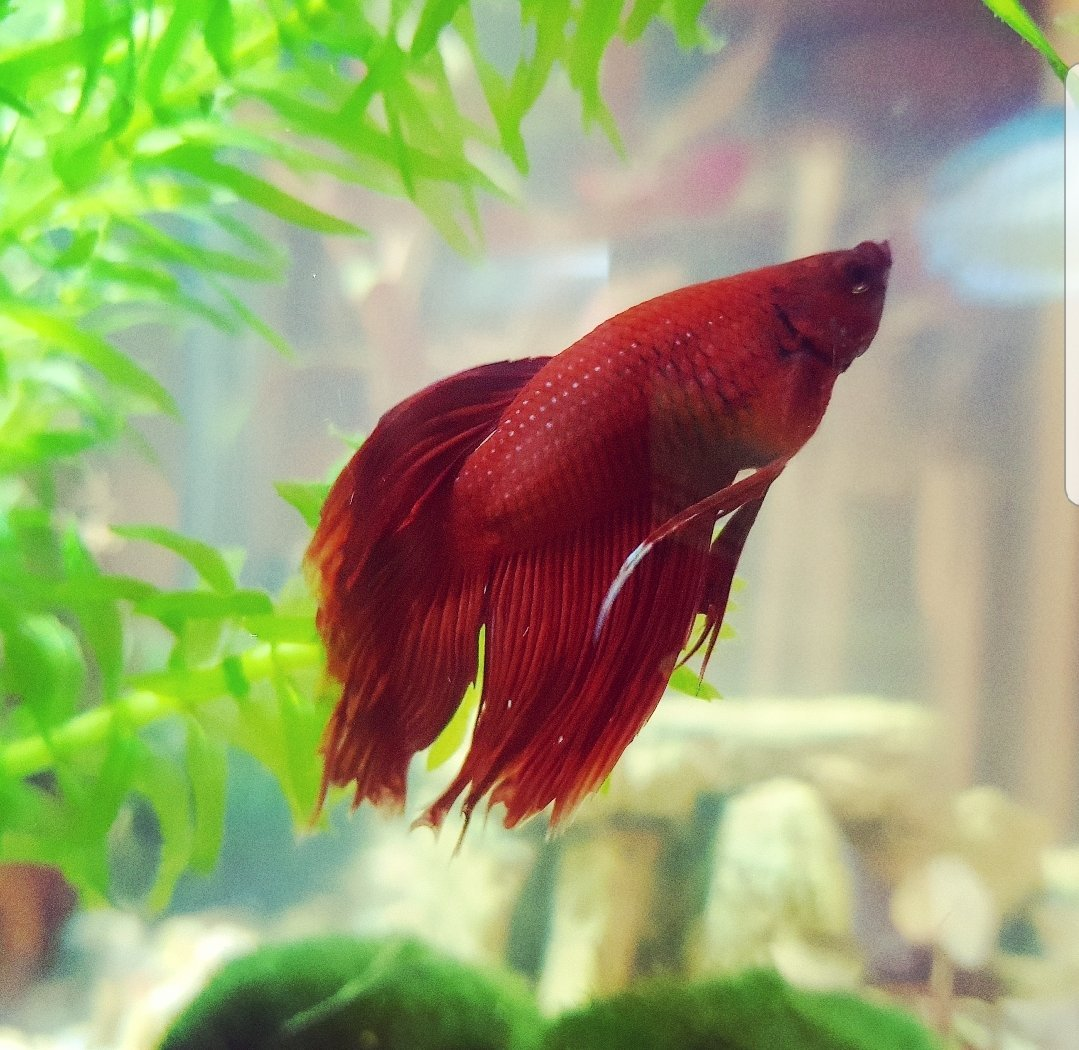 My Betta Is Changing Colour - Is This Normal? | My Aquarium Club