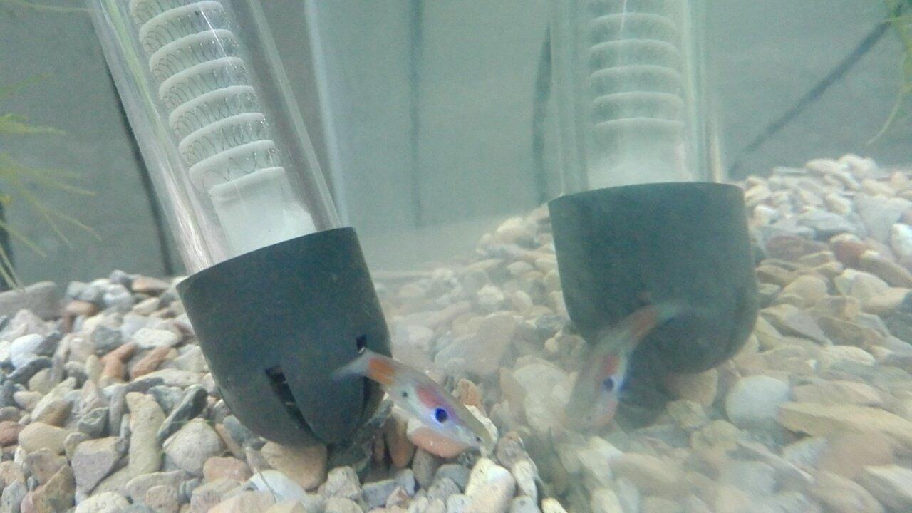 Is This Fish A Guppy Endler Hybrid My Aquarium Club