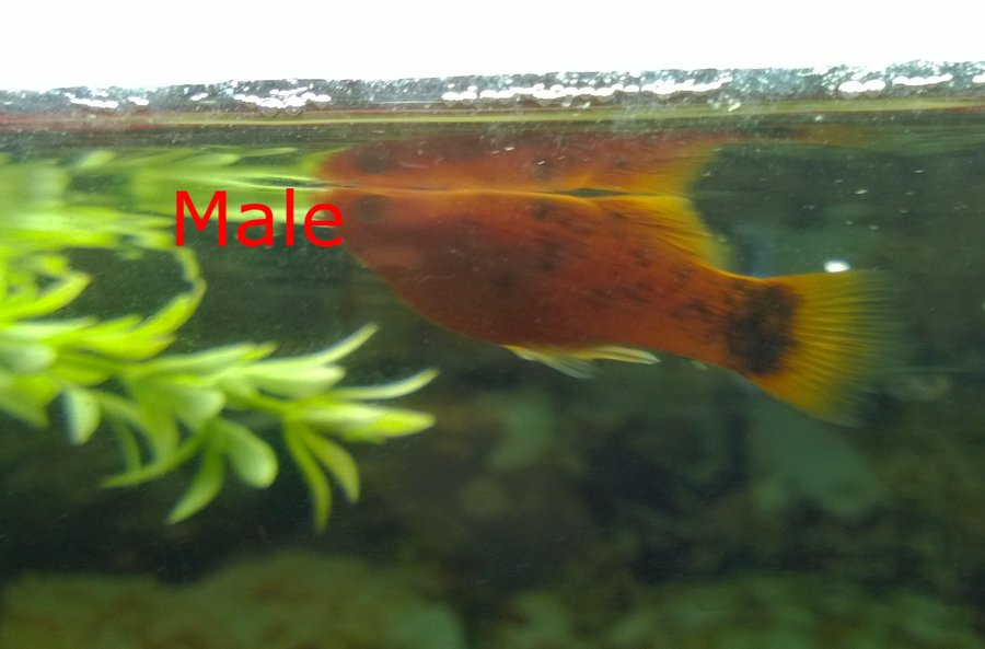 How Do You Tell A Male Platy From A Female Platy  My -5342