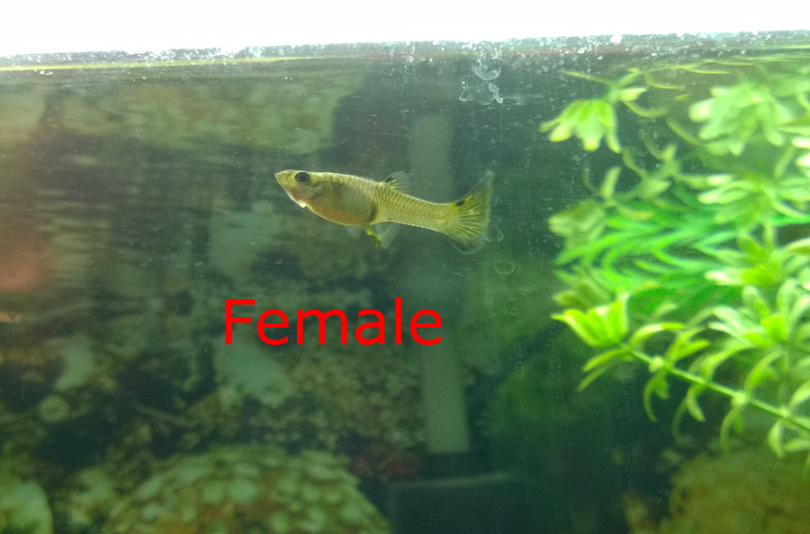 How Can You Tell If Your Fish Is A Girl Or A Boy Please -6269