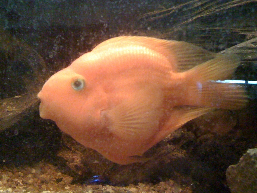 Parrot fish breeding my aquarium club for Fish breeding tank