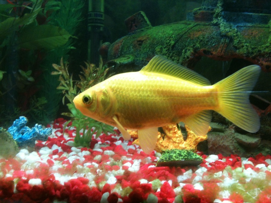 does a common goldfishshubunkin cross have a name our 3