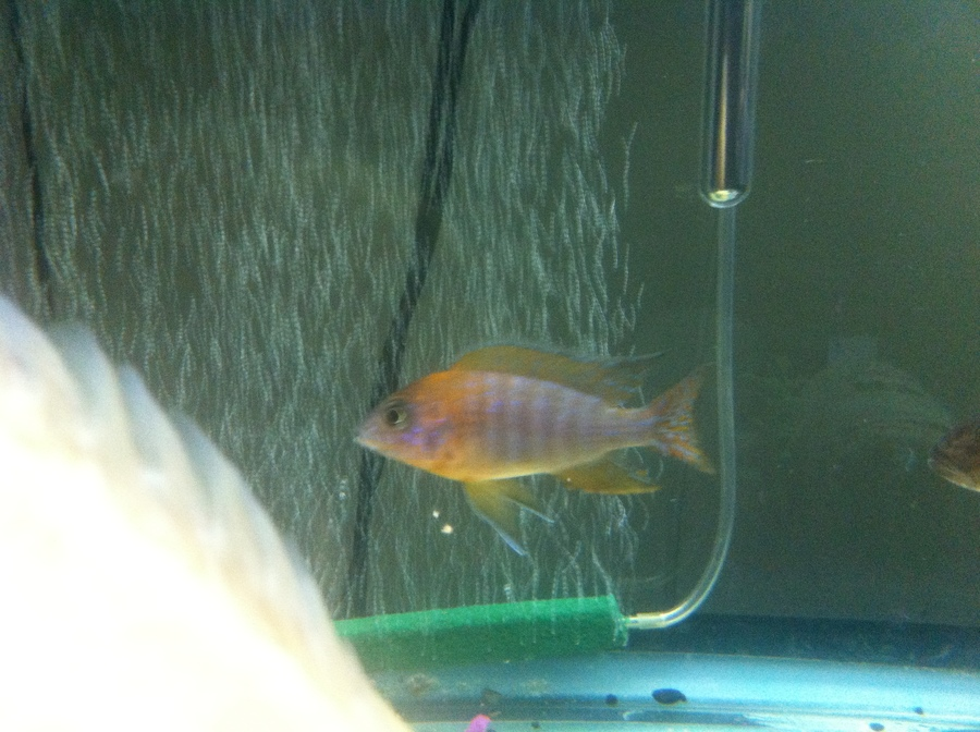 Cichlids With The Oscar And Dempsy (