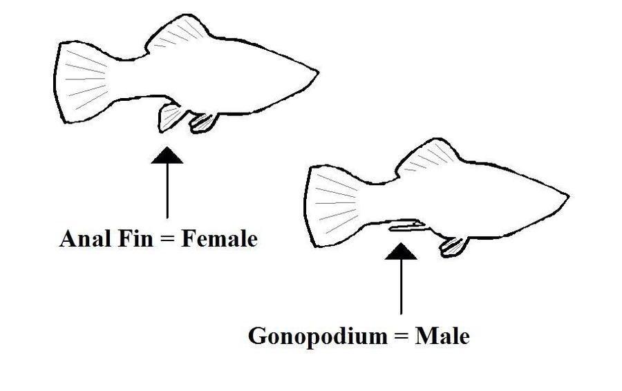Female Or Male Balloon Bellied Mollies  My Aquarium Club-1465