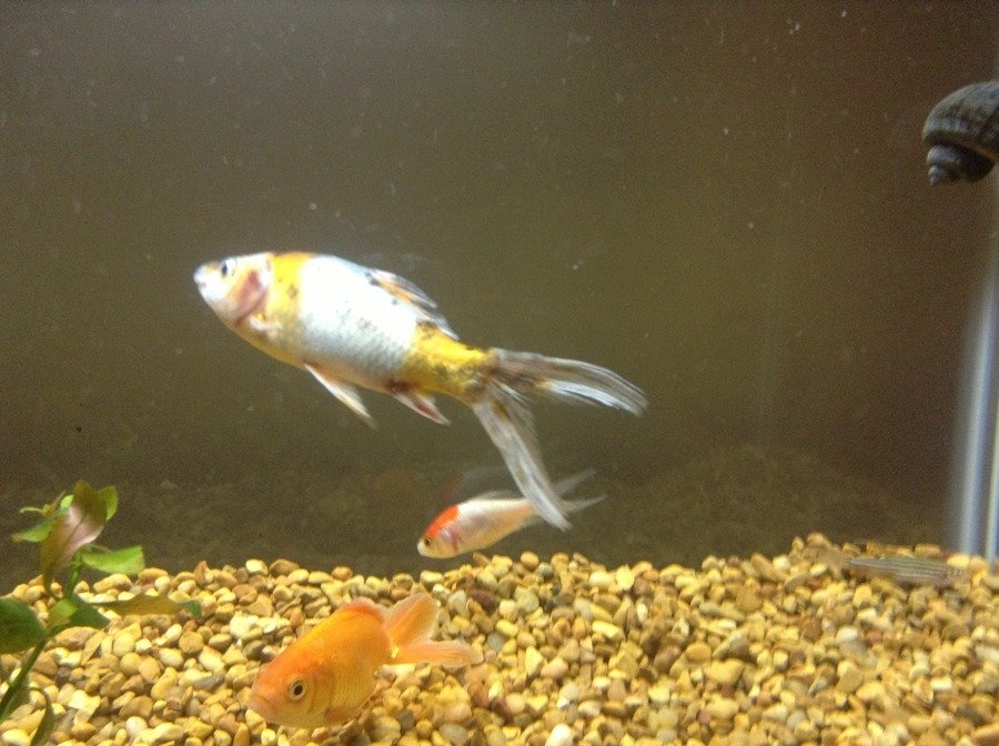 My Comet Goldfish Has Some Diseases I Need Help With 1 He