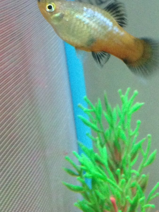 Is My Platy Pregnant? I Have A Male Red Wag Platy In The