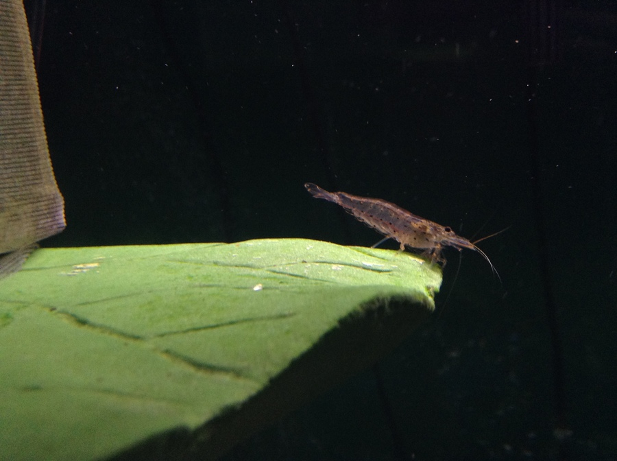 What Are The Differences Between Amano Shrimp And Ghost