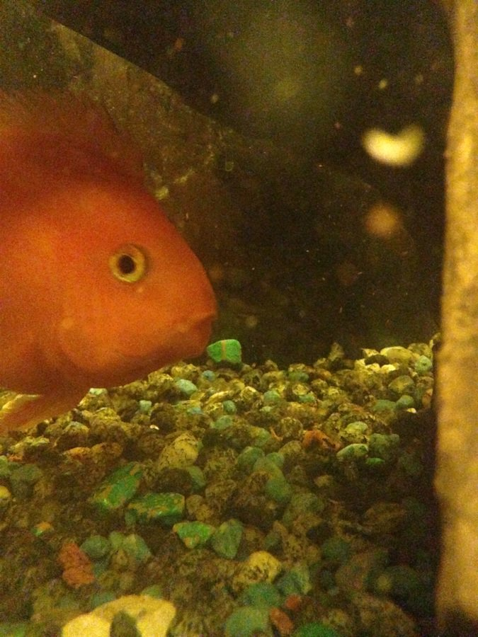 Aninimal Book: Parrot Fish Eggs Will Take How Many Days To Hatch? | My ...