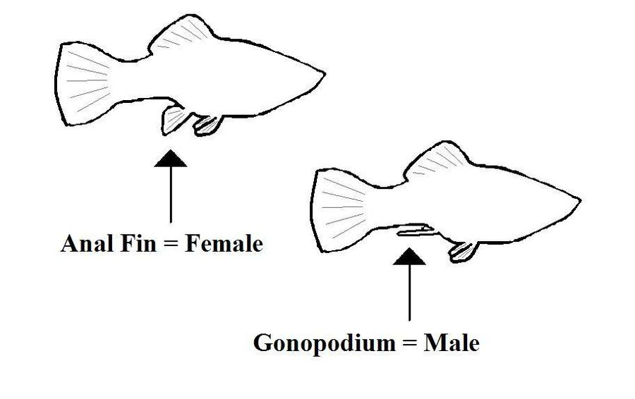 How to determine sex of guppies