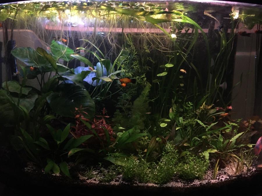easiest carpet plant my aquarium club