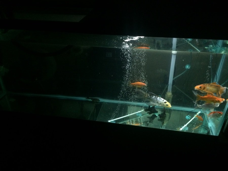 My Koi Have Infections On Their Tails, Have Tried Ich