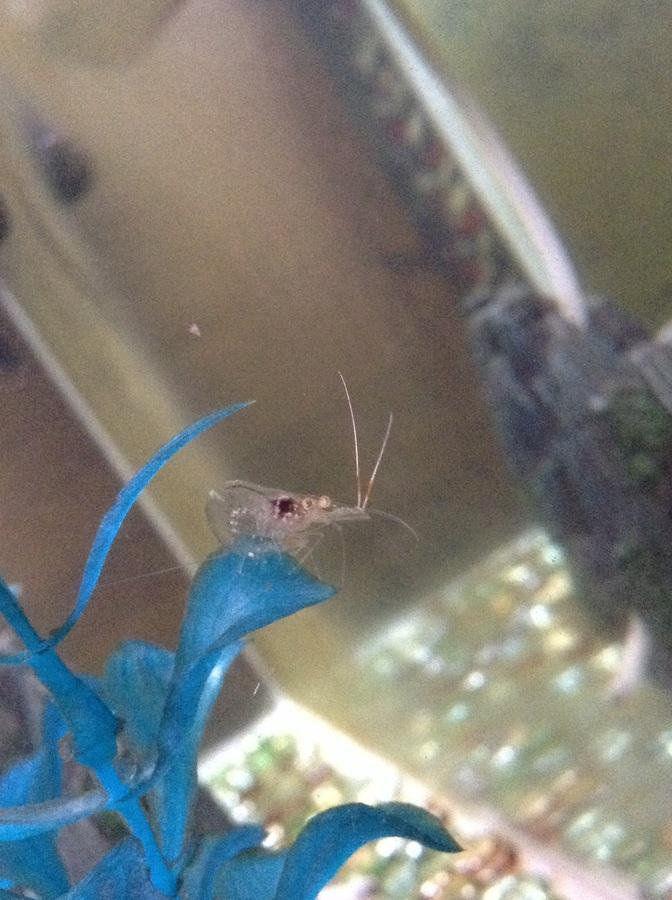 Ghost Shrimp Dying | My Aquarium Club