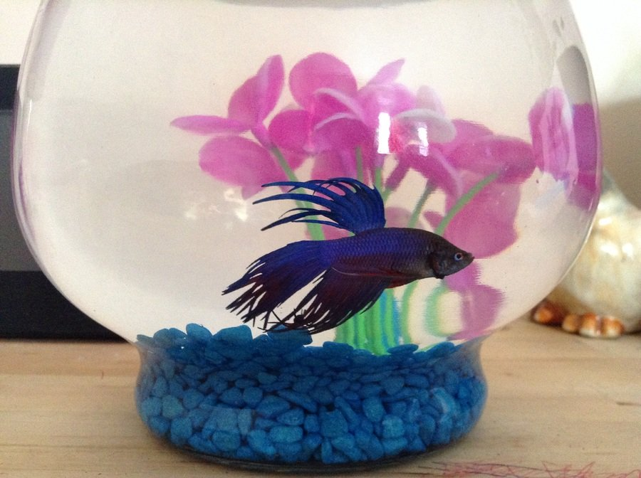 Bettas in bowls or small tanks my aquarium club for 10 fish are in a tank riddle answer