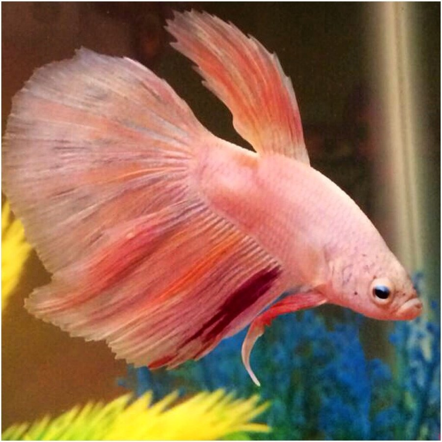 What Should I Name My New Betta?? He\'s So Unique!!! He\'s A Delta ...