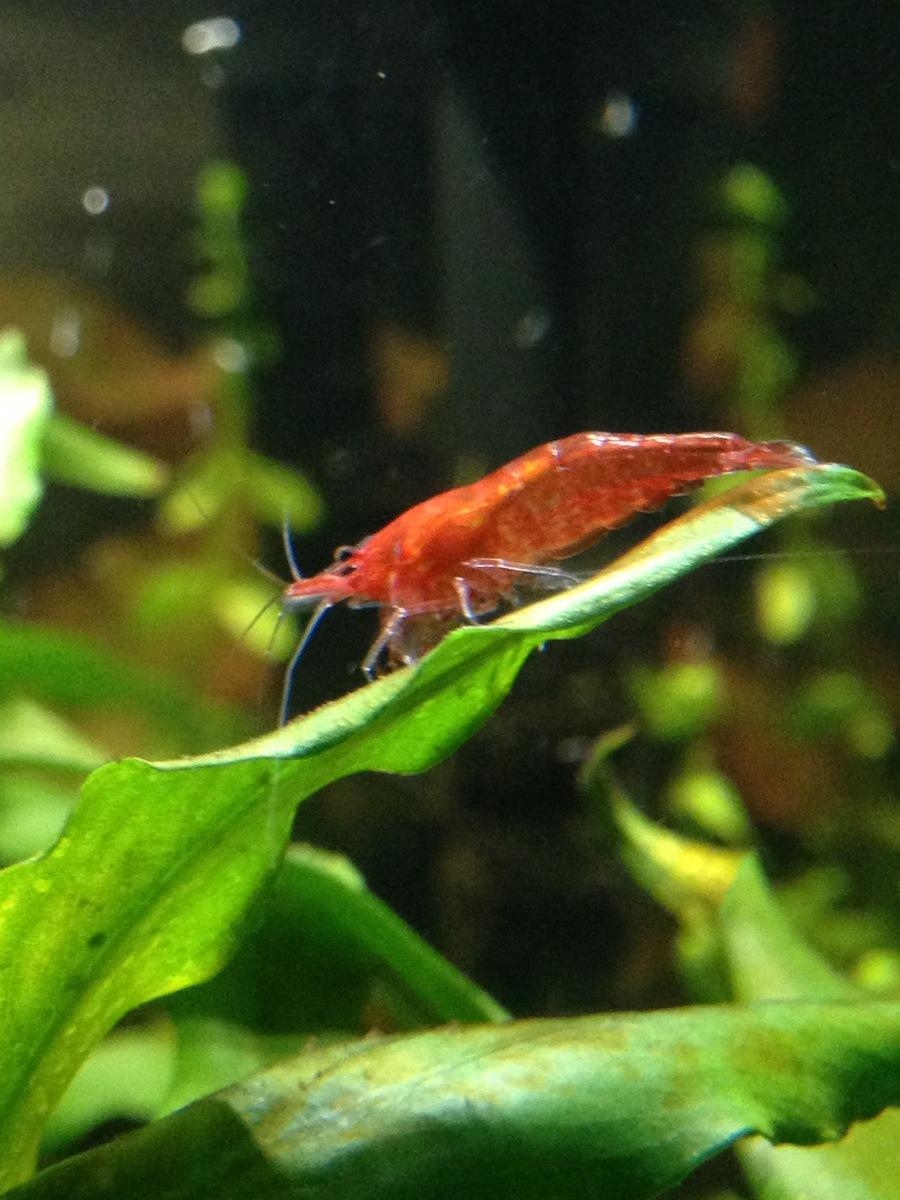 Shrimp | My Aquarium Club