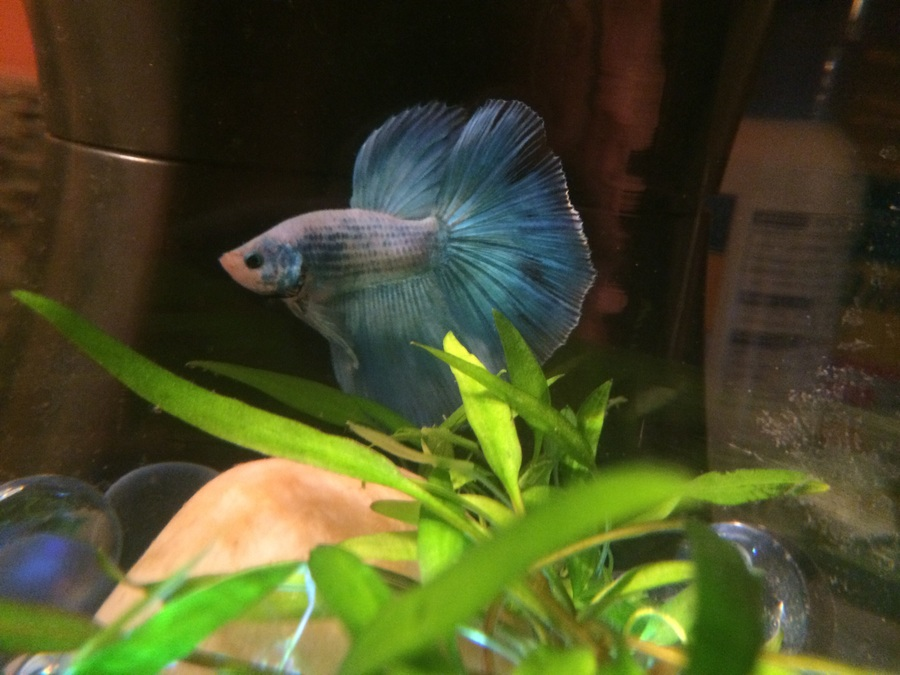 I Have Had A Dragonscale Halfmoon Betta Now For About 5 Months  He