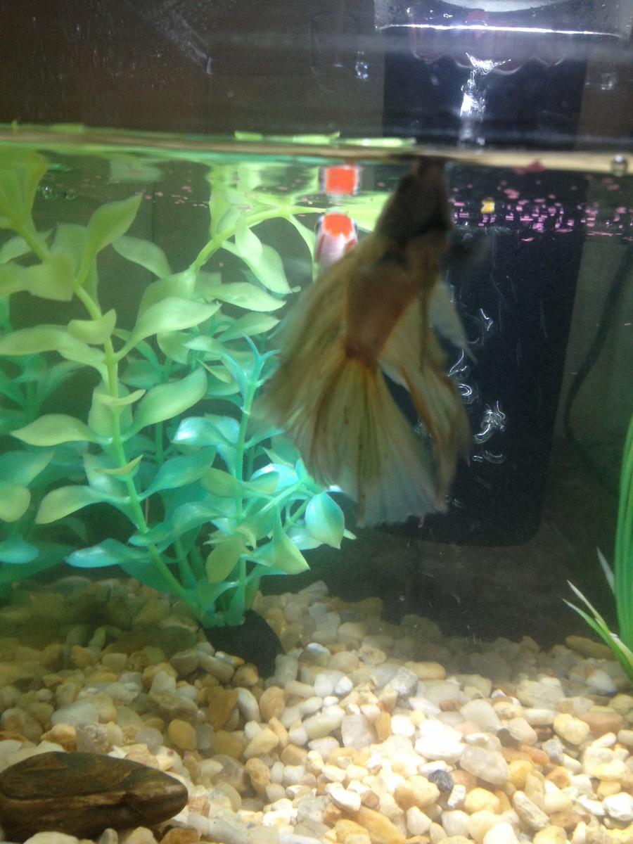 HELP!!!my Betta Fish Has Red Spots On His Tail! | My Aquarium Club