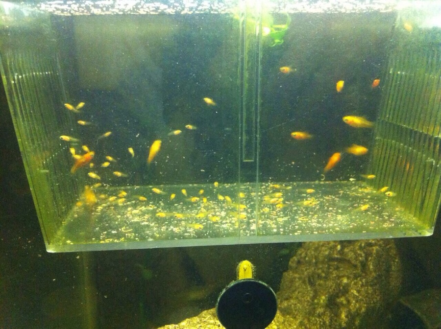 What should i do with my one day old platy fry i mean for Safe fish for pregnancy