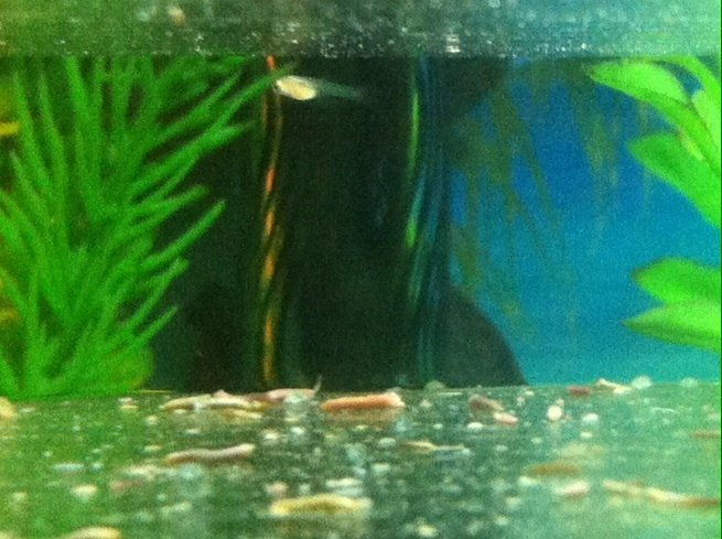 Snail Parasite >> Guppy Gave Birth To 1 Fry And 5 Clear Egg Sacs   My