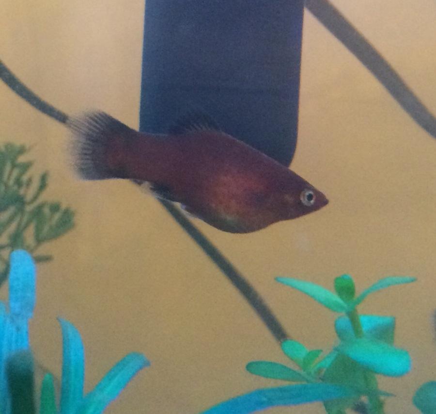 Is My Red Wag Platy Pregnant??? | My Aquarium Club