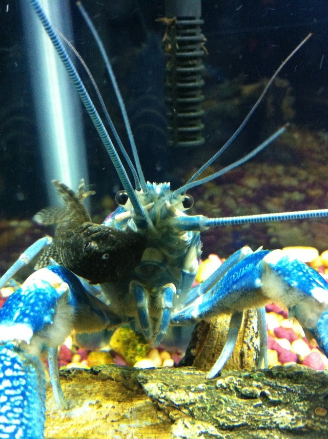 Concerned For My Blue Lobster!!!! | My Aquarium Club