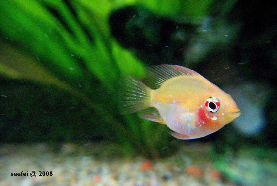 Is My Balloon Ram A Male Or A Female Please Help Is My