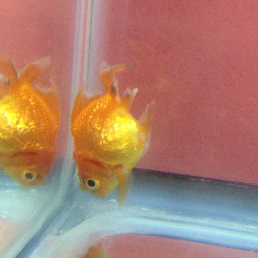 Walmart Oil Changes >> Rescued Goldfish From Walmart! Any Advice Or Suggestions ...