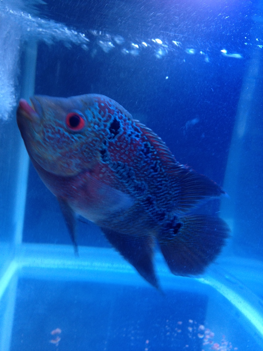How about my flowerhorn sir httpmyaquar ium my aquarium club how about my flowerhorn sir nvjuhfo Gallery