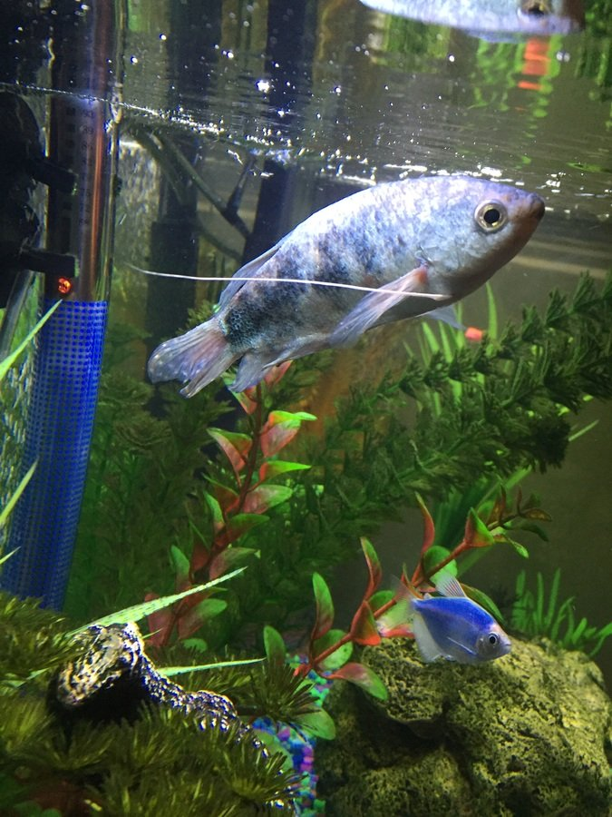 Opaline Gourami Floating Vertically At Surface Of Water My Aquarium Club