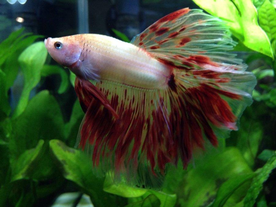 Fish Compatible With Betta   Complete Fish Compatibility List My Aquarium Club