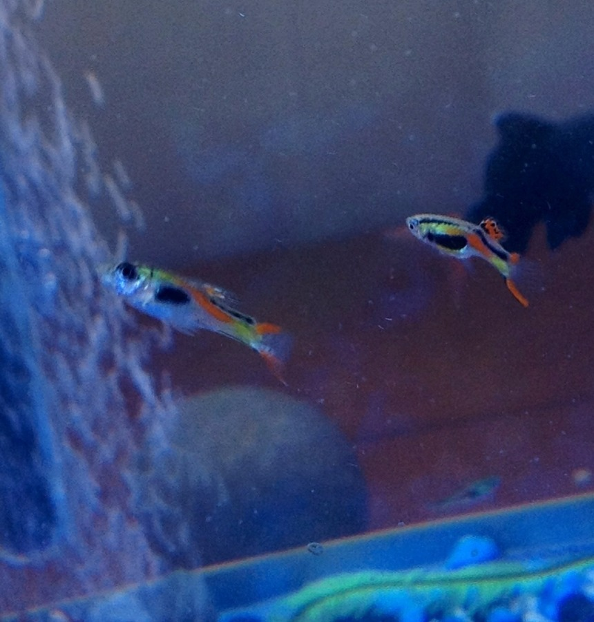Is One Of My Endlers Close To Giving Birth My Aquarium Club