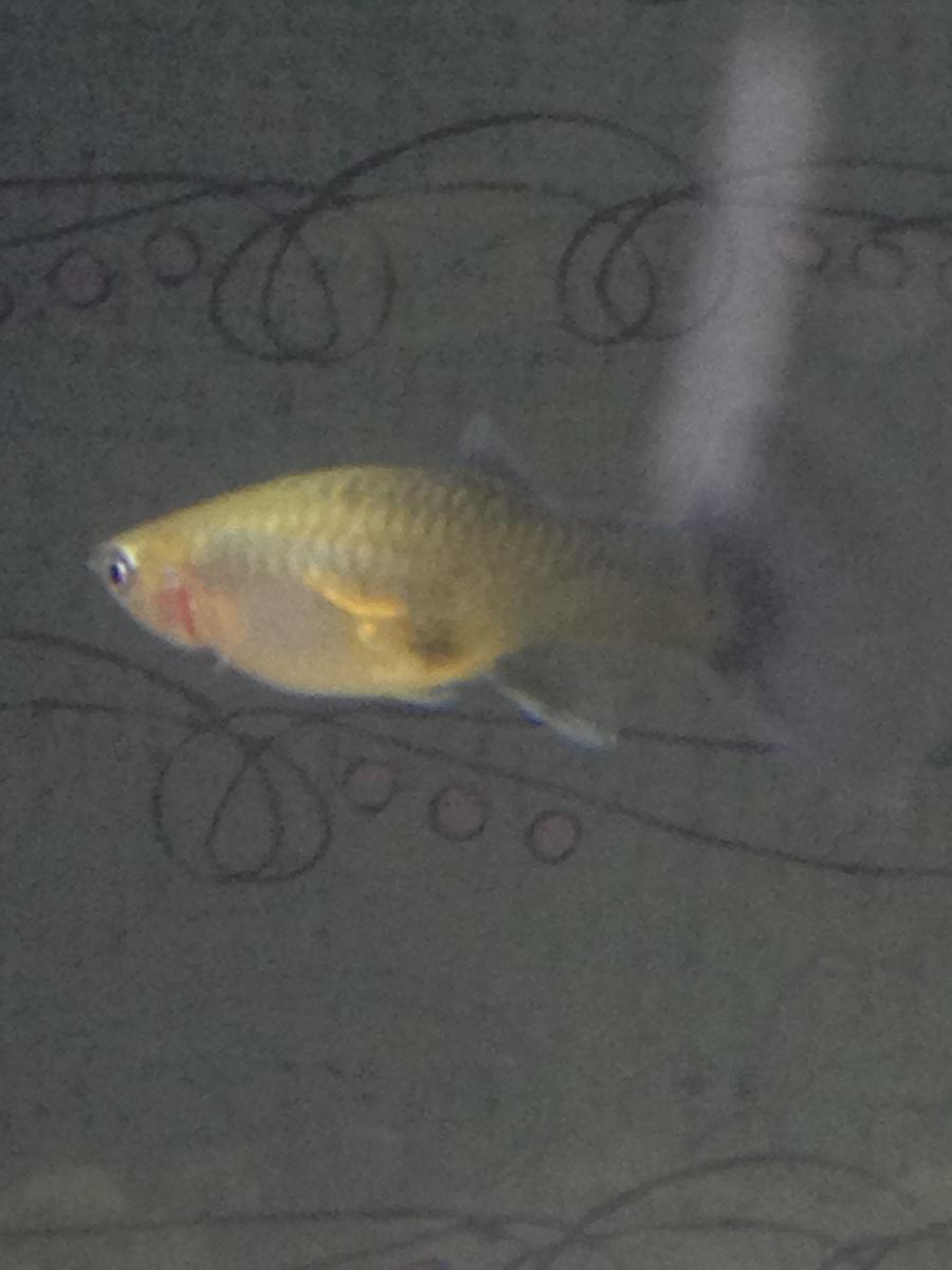 My Pregnant Guppy Is Pooping A Lot? | My Aquarium Club