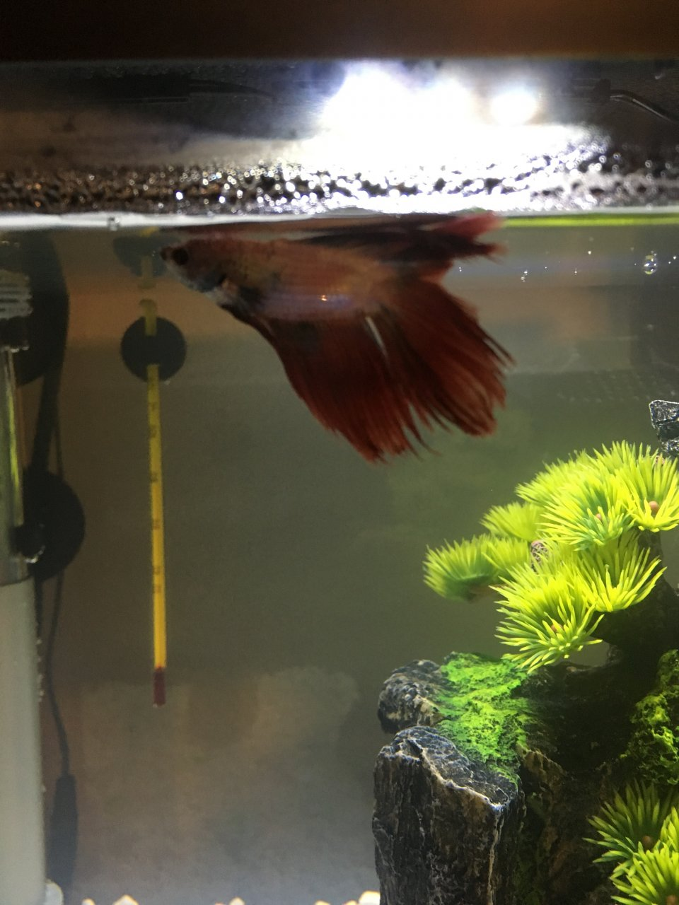Betta Fish Just Staying At The Top Of His Tank Not Eating My Aquarium Club
