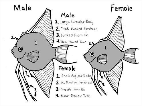 Angelfish Size Erkalnathandedecker