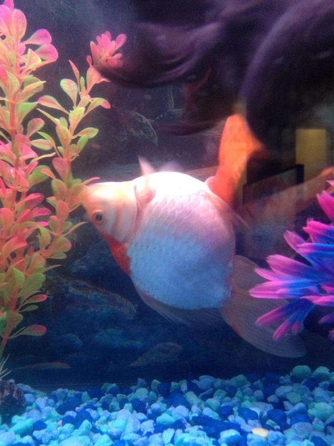 Algae Eater With Goldfish   Goldfish Struggling To Stay Upright My Aquarium Club