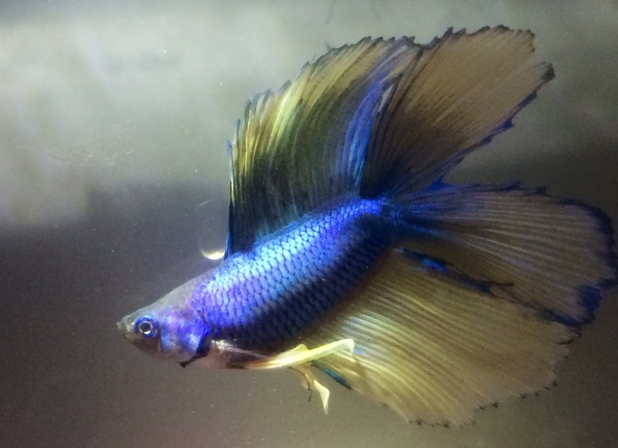 The genetics of betta fish tail types my aquarium club butterfly tail by betta girl guest sciox Image collections
