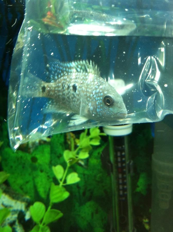 Texas Cichlid Or Carpintis Cichlid? | My Aquarium Club