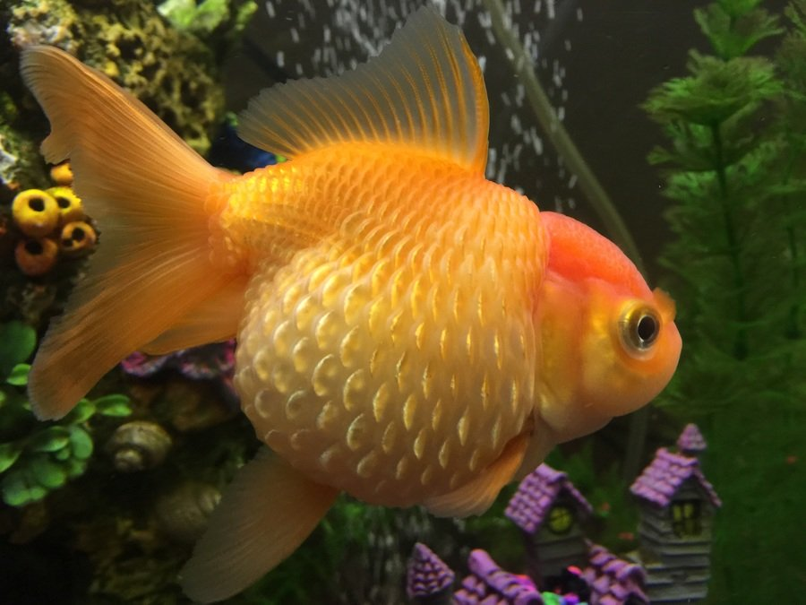 Dropsy? Or Pearlscale Goldfish? | My Aquarium Club