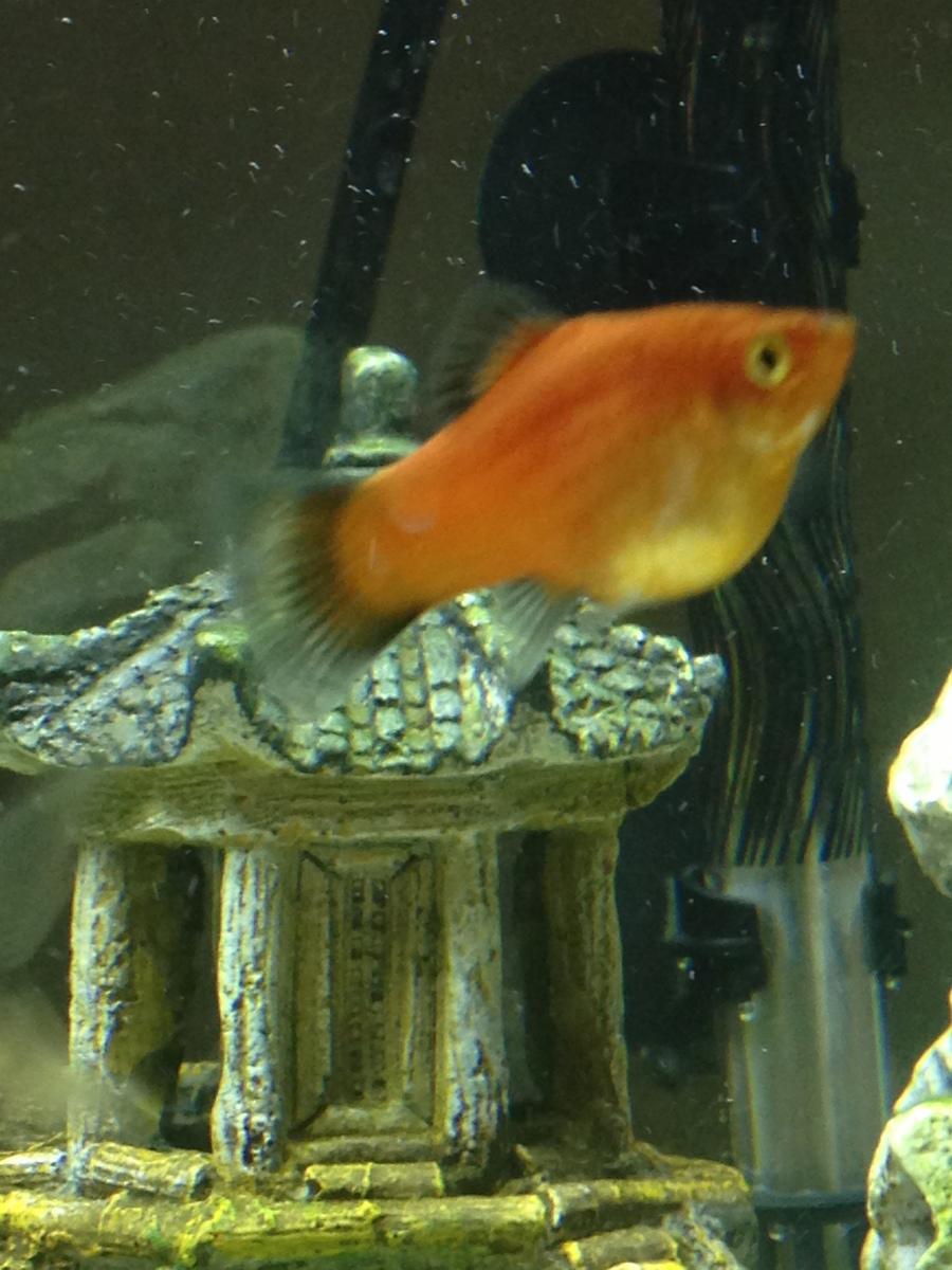 Is My Red Platy Pregnant? | My Aquarium Club