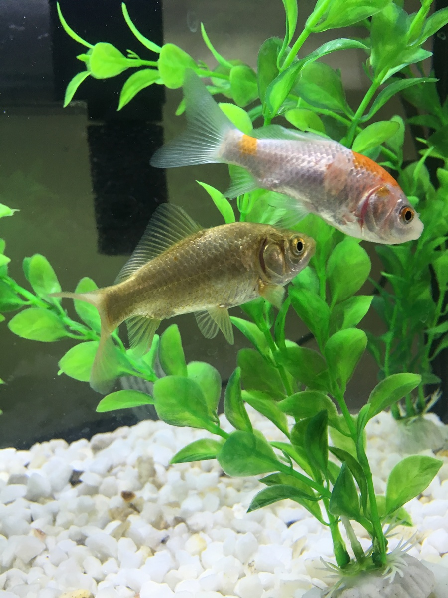 My Goldfish\'s Scales Seem To Be Coming Off? | My Aquarium Club
