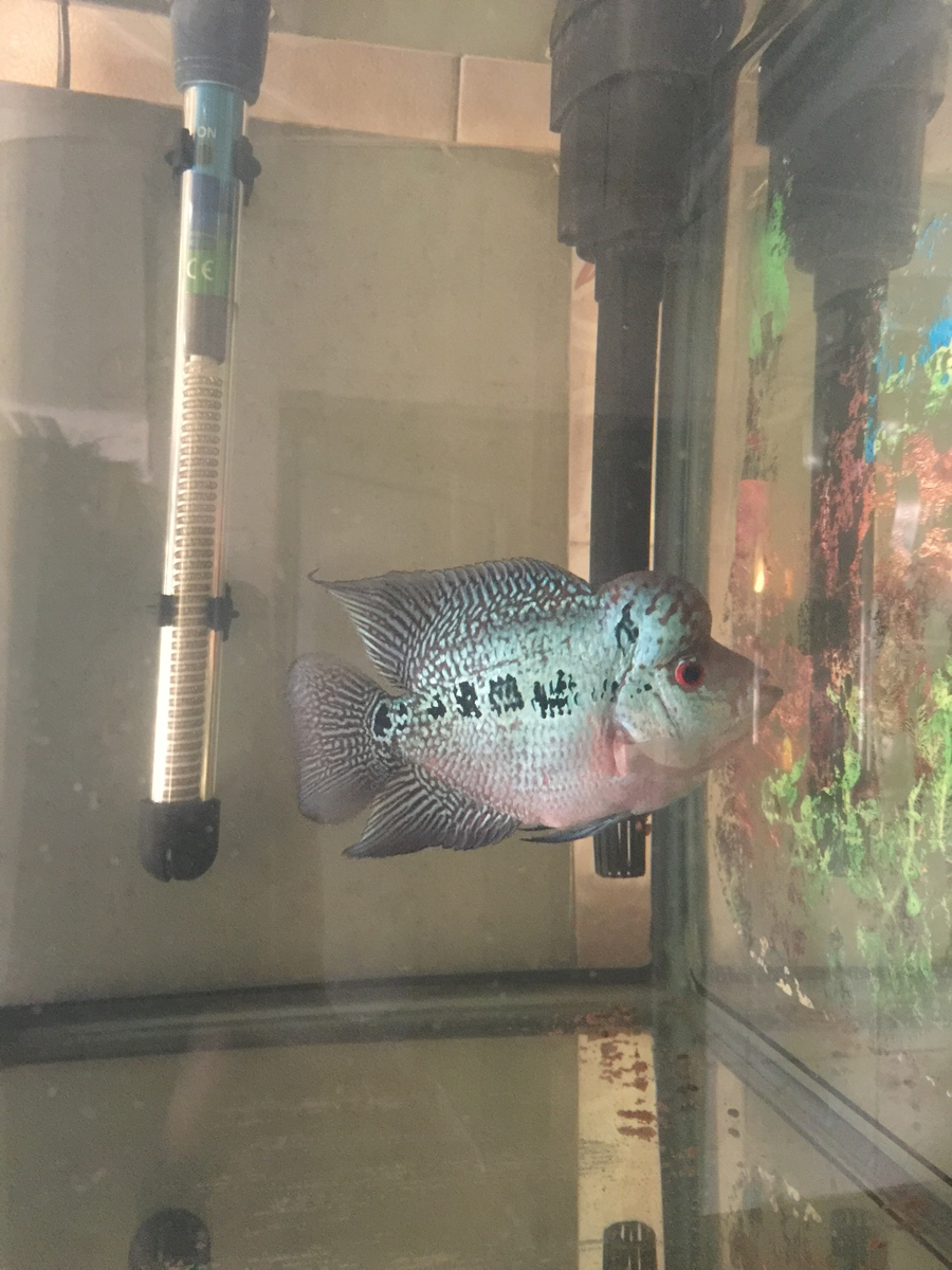 Hey there i am having 6 inches flowerhorn he is 4 months old he i m also attaching pics of my fh pics before and after nvjuhfo Gallery