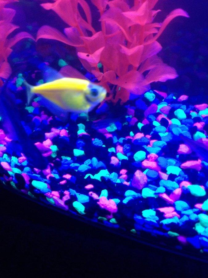Glo fish pregnant