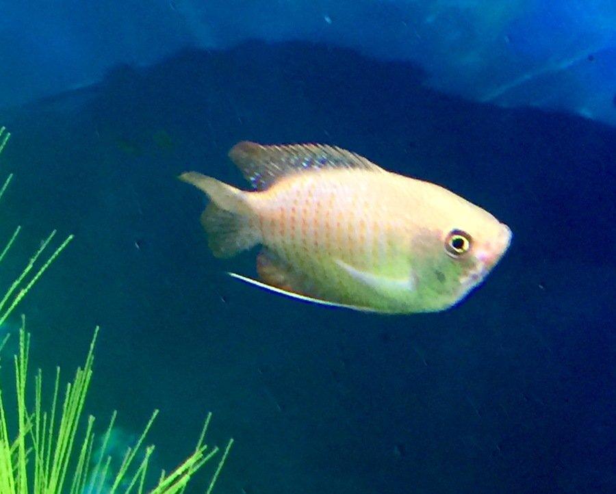 Dwarf Gourami | New Dwarf Gourami And Spot Near Mouth My Aquarium Club
