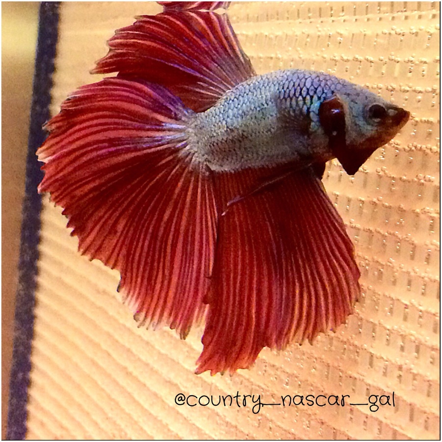 What Would Be Good Names For My Two Bettas?? Red&blue-halfmoon ...