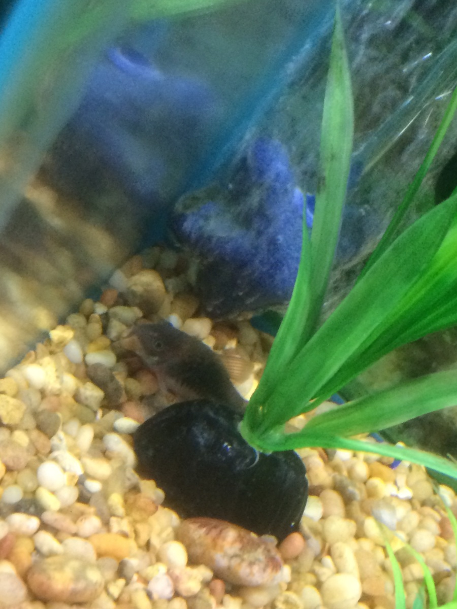 Bronze Cory Catfish | My Aquarium Club