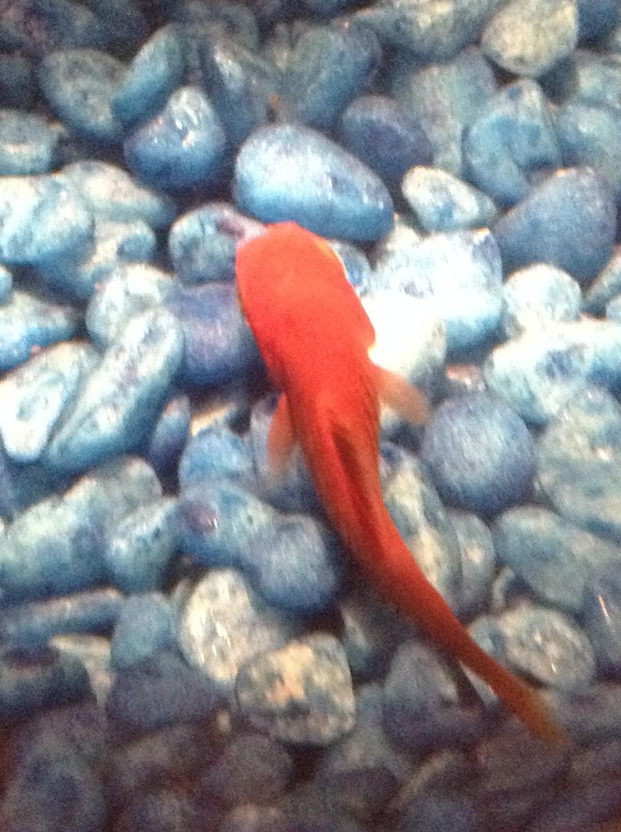 Please Help Me I Think My Platy Is Dying!!! | My Aquarium Club