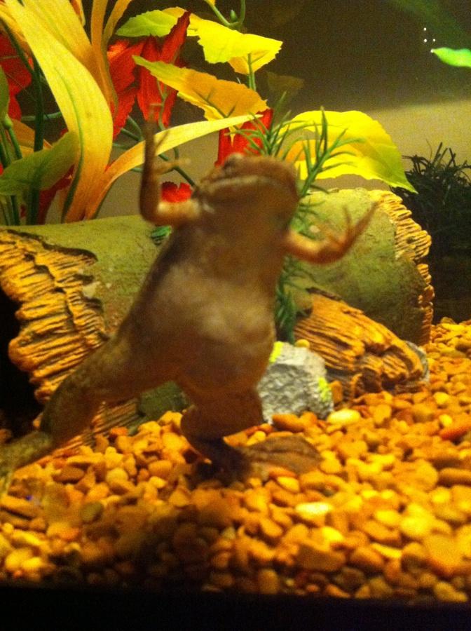 Pregnant African Dwarf Frog