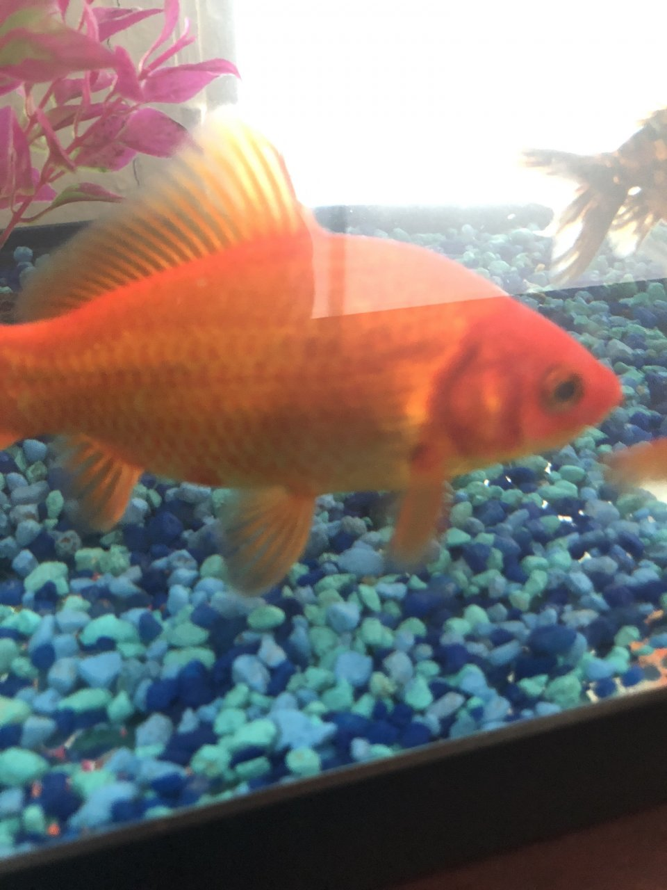 Help Comet Goldfish Has A Red Spot On A Scale My